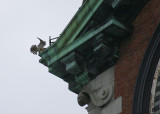 Peregrine fluttering on NW corner ledge above west face of clock