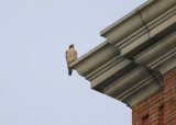 Peregrine perched NW corner below west clock face