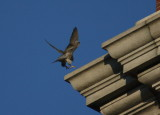 Peregrine in landing mode NW corner clock tower