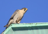 Peregrine: after capturing more prey