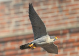 Peregrine: in glide mode