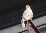 Peregrine: perched on lift beam