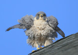 Peregrine: shaking out feathers