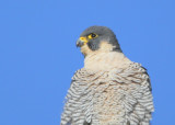 Peregrine: on lookout!