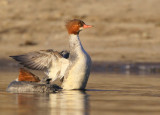 Common Merganser, female
