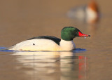 Common Merganser, male