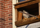 Peregrine: in nesting box
