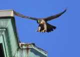 Peregrine: lifting off