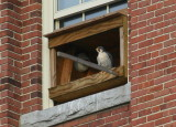 Peregrine: perched on window sill of nest box