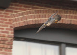 Peregrine: gliding down from south side roof of NB Bldg.
