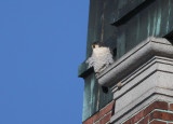 Peregrine: corner of building above entry door
