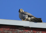 Peregrine: rooftop snack