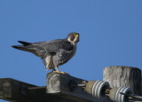 Peregrine: atop utility pole south side of street
