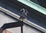 Peregrines: male preparing to mount with closed toes and feet turned inward