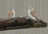 Kestrel pair perched near nest