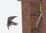 Peregrine: female flaps down