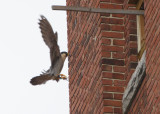 Peregrine: female ready to land on ledge outside nest