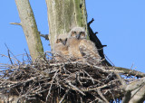 Great Horned Owlets!!