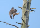 Great Horned Owl: mother landing on roost near nest