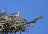 Great Blue Heron incubating in nest