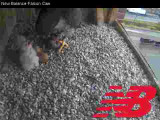 Adult Peregrine: feeding time for 2 chicks with 2 unhatched eggs