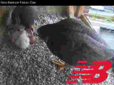 Adult Peregrines: feeding time for 2 chicks with 2 unhatched eggs