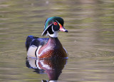 Wood Duck, male