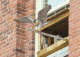 Peregrines: Mom providing balance training