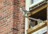 Peregrines: ready to fledge!