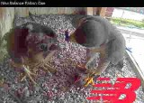 Peregrine adult and female chick feeding time!