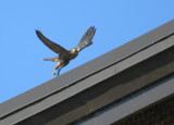 Peregrine chicks: more butterfly flight playtime and hanging