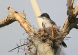 Eastern Kingbird on nest