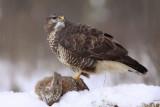 Roofvogels - Uilen