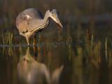 reigersoorten_flamingos