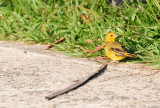Saffron Finch.