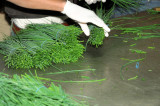Preparing chives for export
