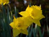 P3182631 Daffodils