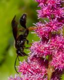 _MG_5252 Mud Dauber Wasp