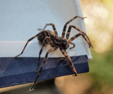 P6214137 Same spider, different camera - Dolomedes tenebrosus