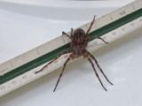 DSCF7788 Dolomedes tenebrosus - a fishing spider