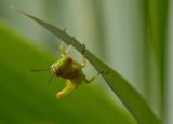 _MG_5358 Grasshopper