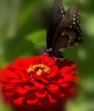 _MG_5843 Butterfly on Zinnia