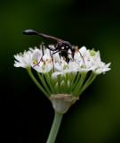 _MG_5878 Wasp on garlic chive blossoms