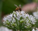 _MG_6051 Big Eye Bee