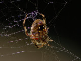 _MG_6574 Spider