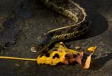 P1000285 Snake in Walkway