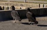 P1000295 Hatchery Vultures