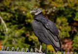 P1000323 Hatchery Vulture