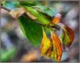 Persimmon Leaves DAP