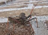 DSCF7976 Wheel Bug - Arilus Cristatus